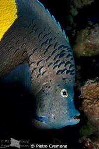 Blue Angelfish (Pomacanthus maculosus) by Pietro Cremone 